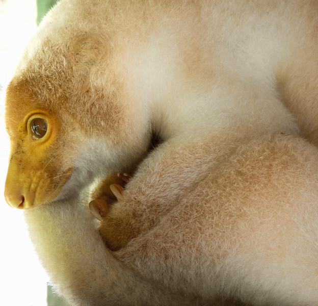 Cuscus, Papua New Guinea