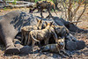 African Wild Dogs Feasting on Dead Elephant, Botswana