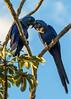 Hyacinth Macaw Pair, Pantanal, Brazil