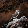 Blue Footed Booby on Rocks, Galapagos