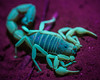 Scorpion in UV Light, Namibia