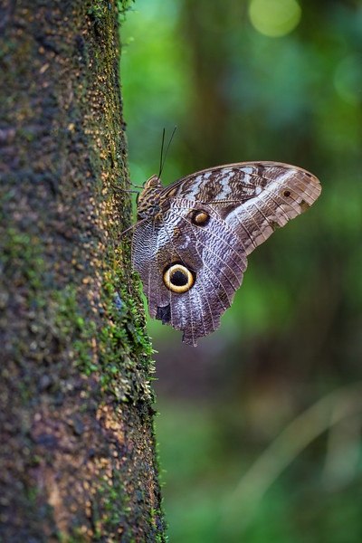 Owl Moth on Tree, Tambopata, Peru