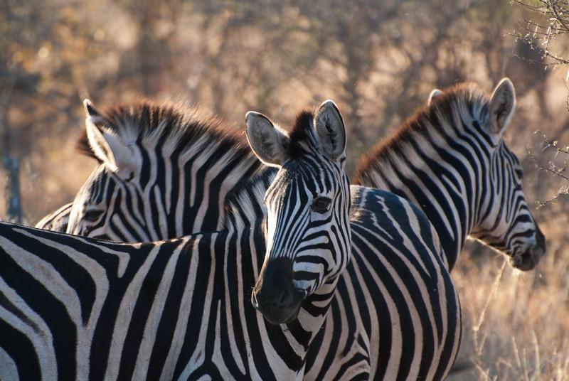"""<span id=""""title"""">Zebra Trio</span> <em>Kruger National Park</em> I can really understand how the stripes confuse predators."""