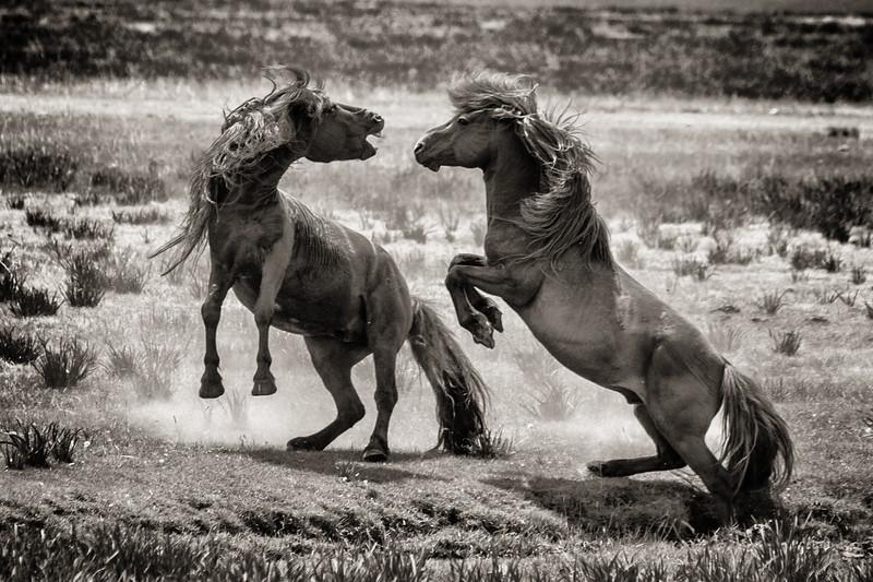 Stallion Fight, Mongolia