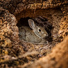 Rabbit in Burrow, Badlands, South Dakota