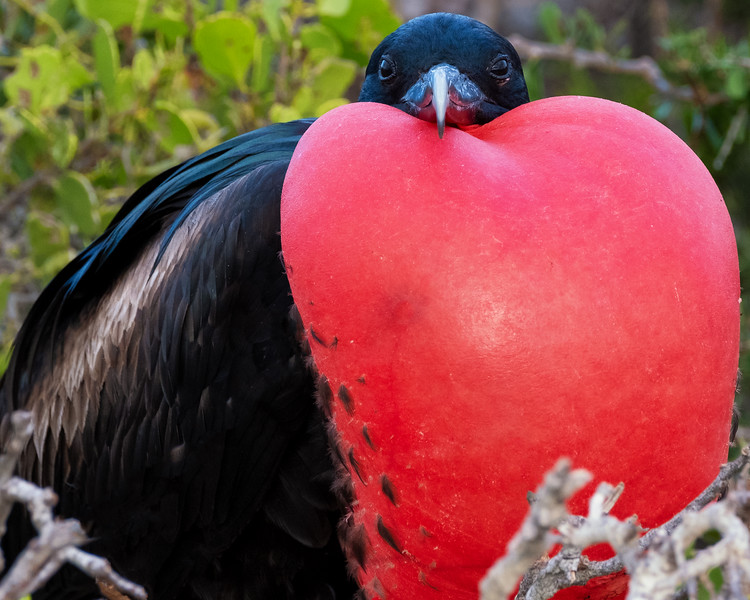Male Frigate Bird Displaying, Galapagos