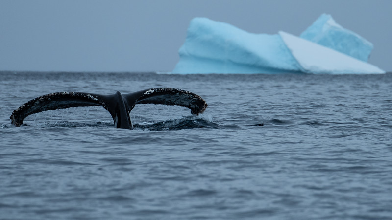 Humpback Whale, Cierva Cove, Antartica
