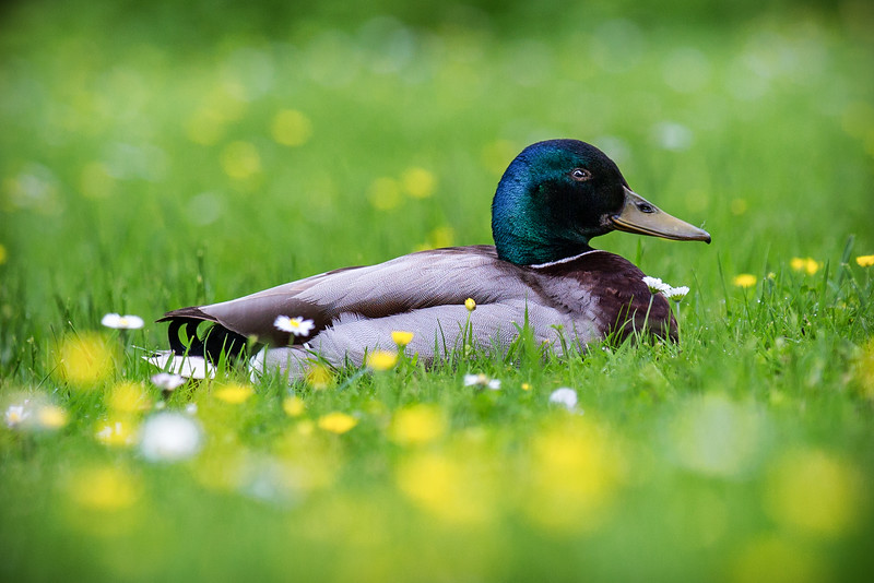 Mallard in Flowers, Amboise, France
