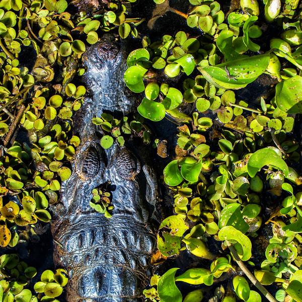 Hiding Caiman, Pantanal, Brazil