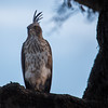 Hawk Eagle, Sri Lanka