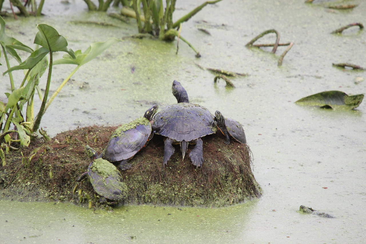 Basking turtles
