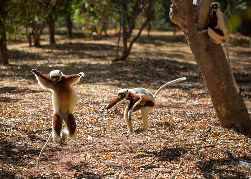 Trio of Coquerel's Sifaka Lemurs, Madagascar