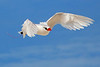Red Tailed Tropicbird, Cook Islands