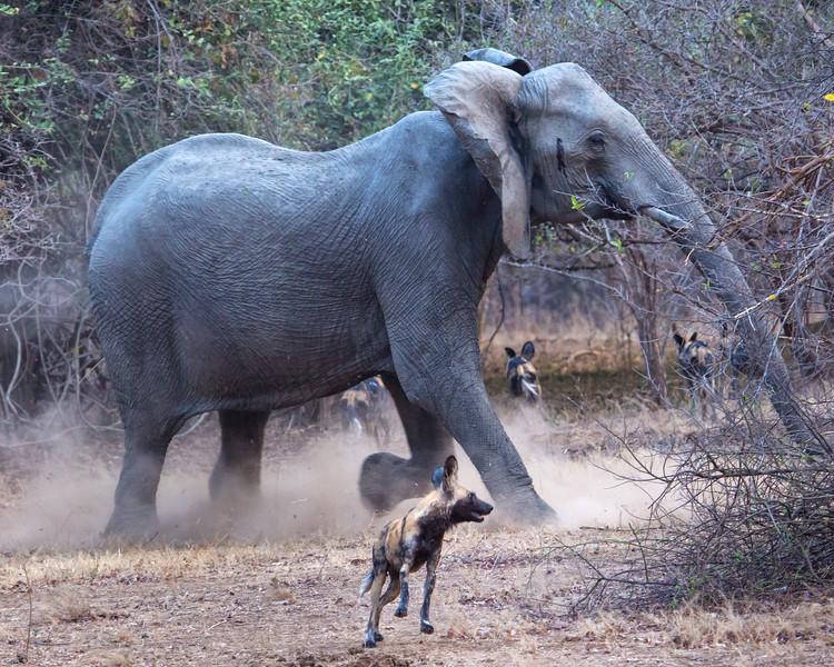 Elephant Charging Wild Dogs, Zimbabwe