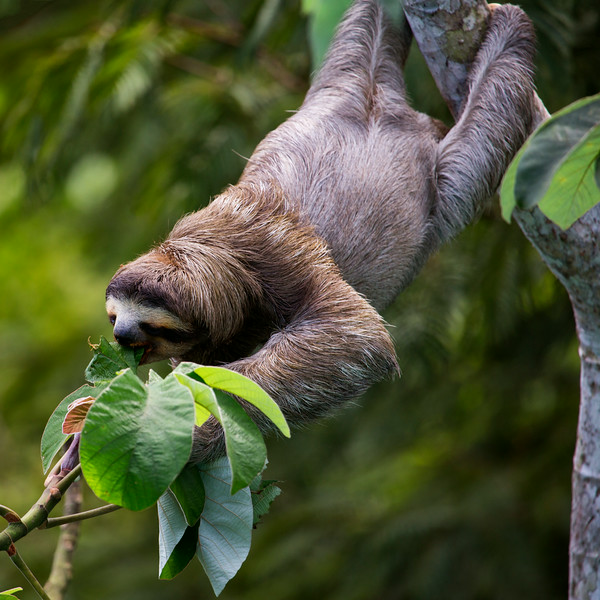 Sloth Feast, Panama