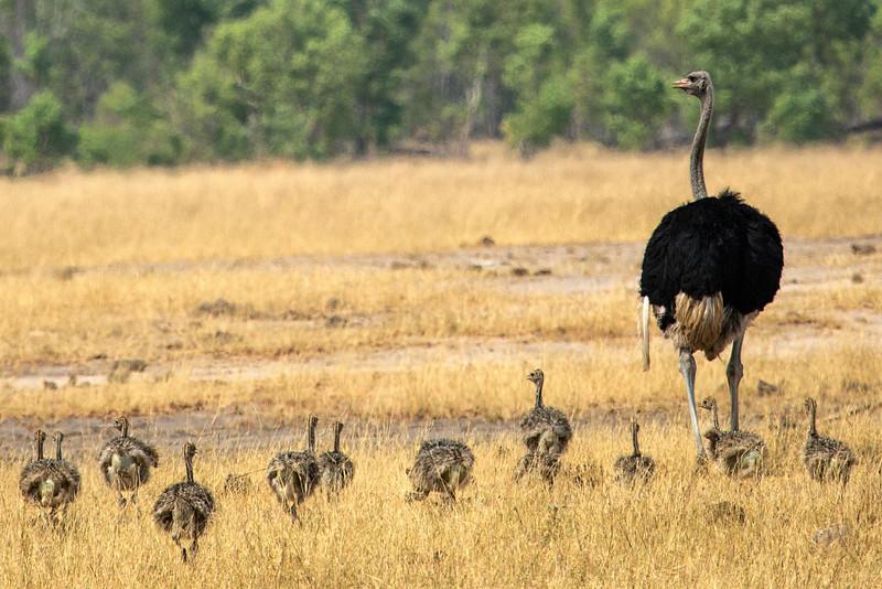 Ostrich Family, Zimbabwe