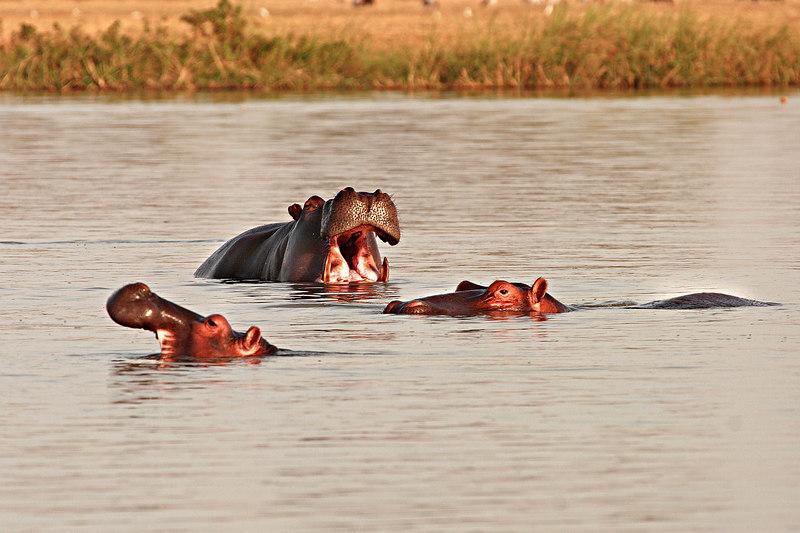 Hippopotamus, Maga lake, Extreme-North, Cameroon.
