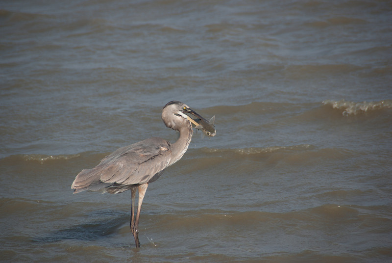 Great Blue Heron with his catch.