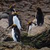 Macaroni Penguins, Cooper Bay, South Georgia
