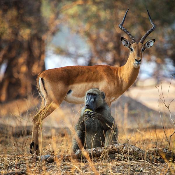 Odd Couple, Zimbabwe