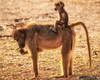 Baboon Ride, Zimbabwe