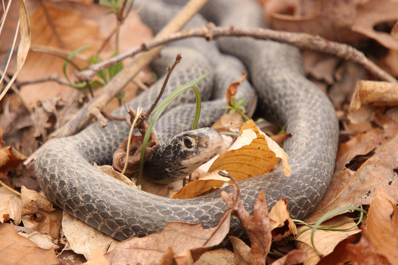 Different snake. Ten feet from the other one.  Just ot of hibernation as well. Note the dirt around the eye.