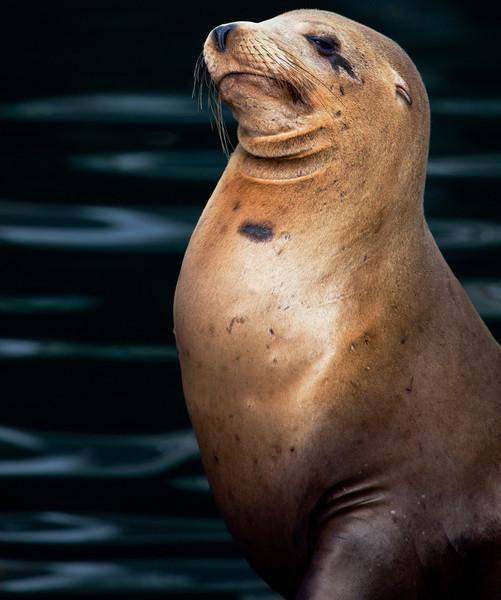 Haughty Sea Lion, Monterey CA