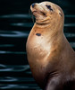 Haughty Sea Lion, Monterey CA