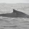 Gray whale breeching near Sitka, Alaska.  --  18 September 2008