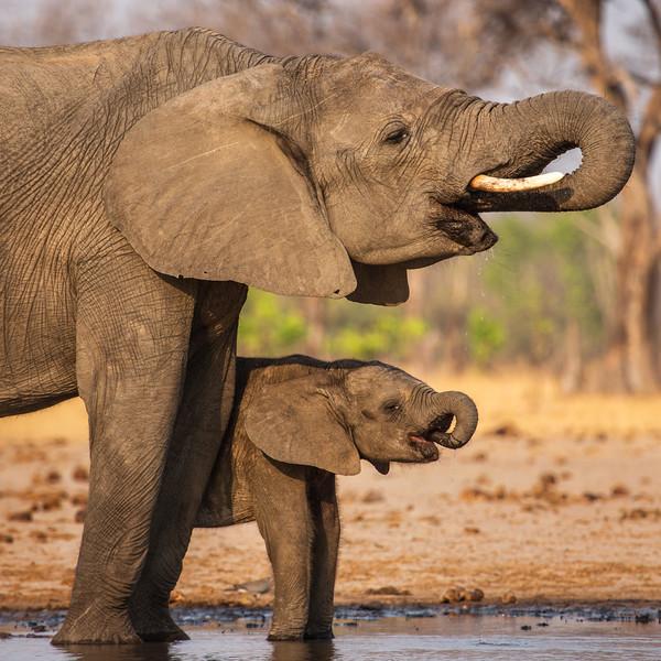 Drinking Elephants, Zimbabwe