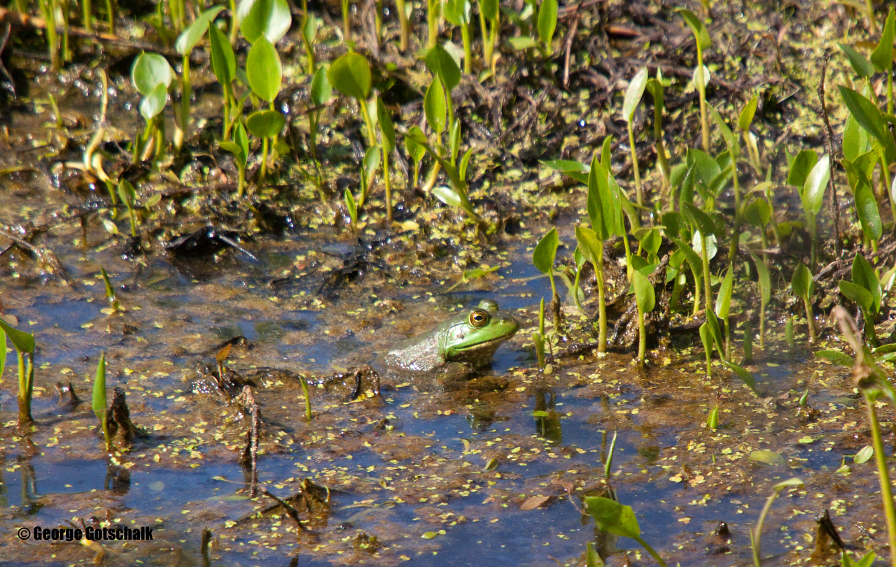 Spring in the air with frogs appearing