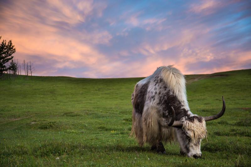 Yak at Dusk, Mongolia