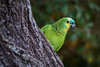 Blue Fronted Parakeet, Pantanal, Brazil