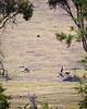 Kangaroos and Wombat, Maria Island, Tasmania