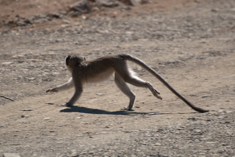 "<span id=""title"">Monkey</span> <em>Kruger National Park</em> As we were watching the hippos and crocodiles across the river, several monkeys ran across the road not far from our vehicle. Not a single one of them looked at the camera."