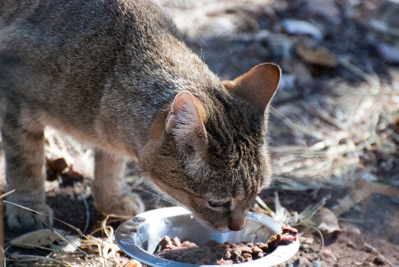 """<span id=""""title"""">African Wild Cat</span> <em>Ann van Dyk Cheetah Centre</em> Looks like a housecat, but it's actually a wild animal. All animals at the Ann van Dyk Cheetah Centre are there for a reason - this one's here because it's threatened by breeding with domestic or feral housecats."""