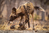 Wild Dog Play,  Zimbabwe