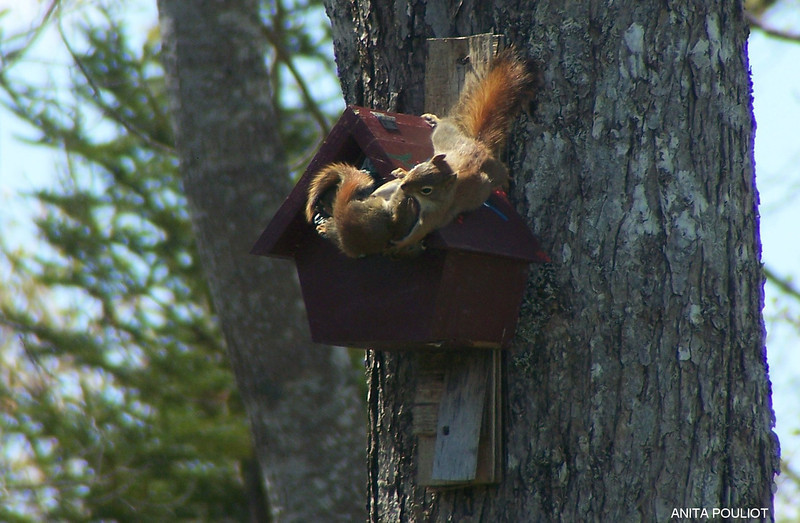 Parent squirrel with baby- Anita Pouliot photo May 12, 2012