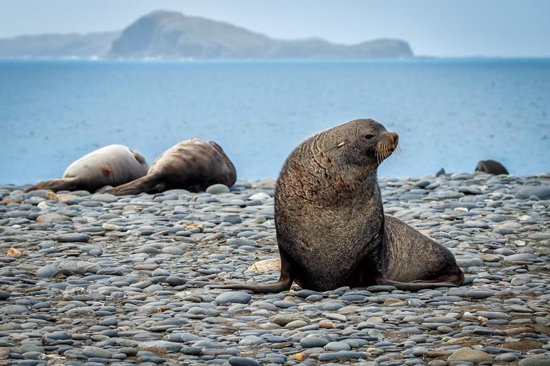 Fur Seal on Stone Beach, Salisbury Plain, South Georgia