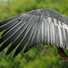 "<span id=""title"">California Condor</span> (<em>Gymnogyps californianus</em>)"