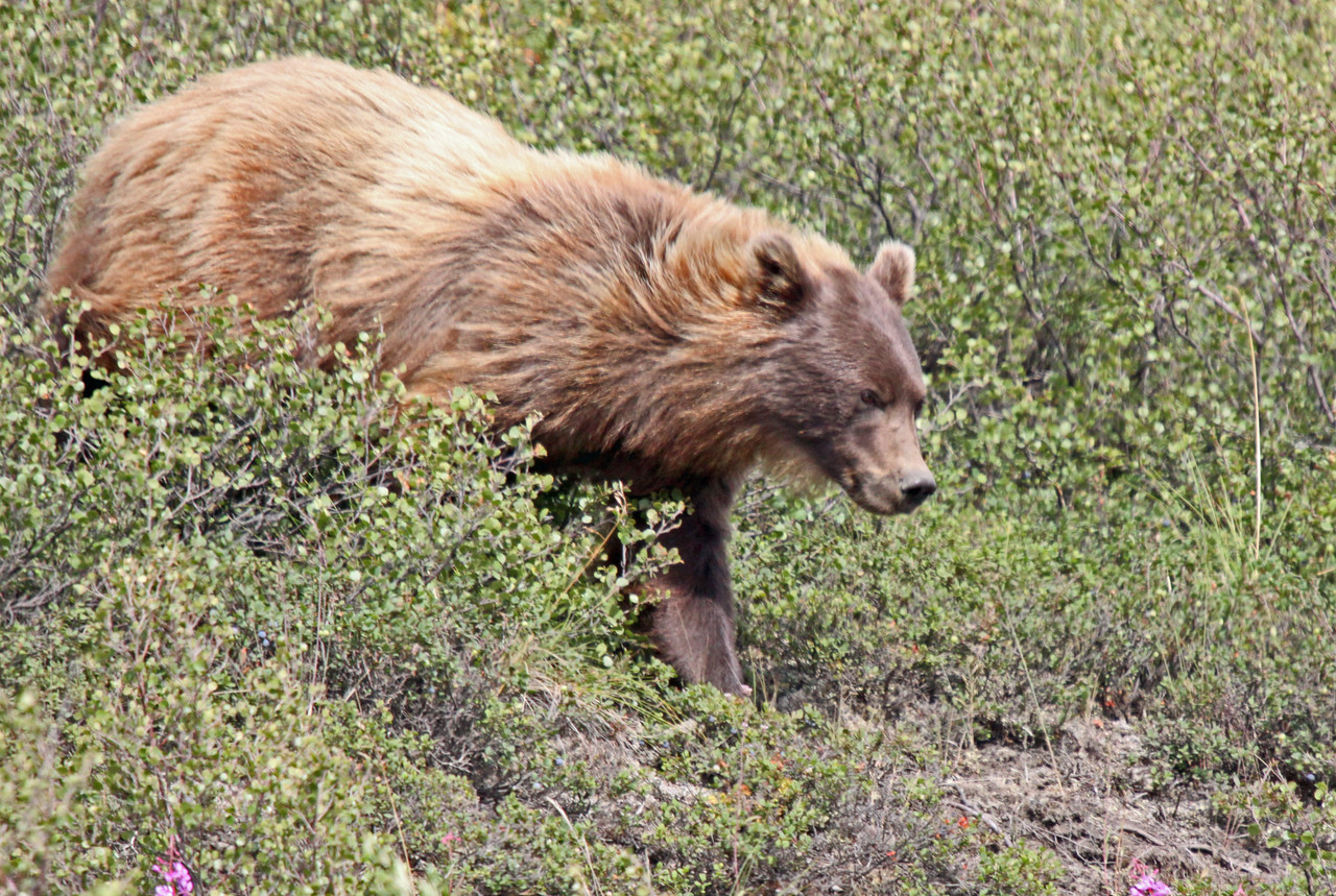 Grizzley on the move