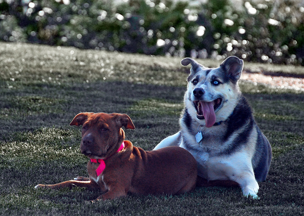 These two canines were having a great time at Serra Cross Park in Ventura, CA on March 5, 2011.