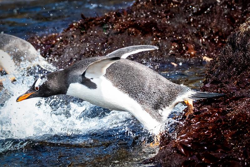 Gentoo Penguin Diving, Cooper Bay, South Georgia