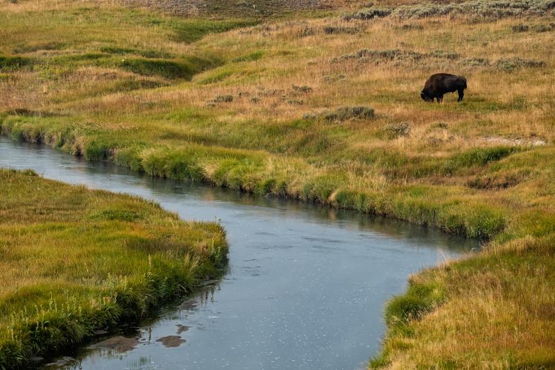 Bison Grazing Hayden Valley