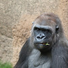 """<span id=""""title"""">Chewin'</span> This gorilla's got herself a mouthful of tasty leaves."""