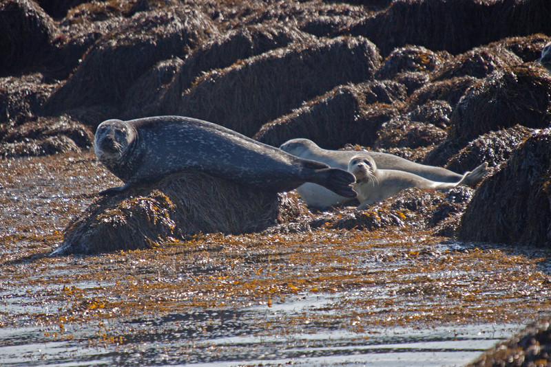 Gray seal and young in St. John's Nova Scotia