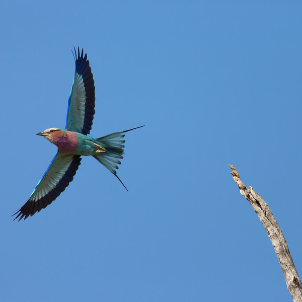 Lilac-Breasted Roller in Flight, Botswana