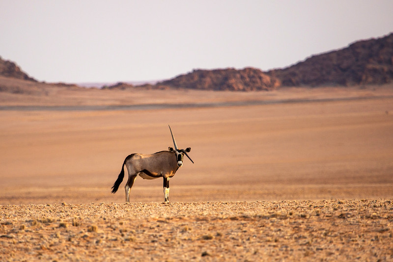 Oryx with Broken Horn, Namibia