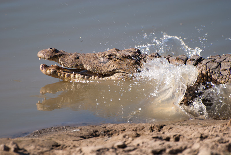 """<span id=""""title"""">Running/Swimming Away</span> <em>Balule Game Reserve</em> As we walked (!) within about 20 feet or so of the croc, it got up and 'ran' into the water. I was happy to get a photo of the action."""