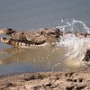 "<span id=""title"">Running/Swimming Away</span> <em>Balule Game Reserve</em> As we walked (!) within about 20 feet or so of the croc, it got up and 'ran' into the water. I was happy to get a photo of the action."